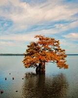 Cypress In Autumn 2 Fine-Art Print