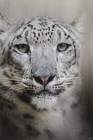 Stare Of The Snow Leopard Fine-Art Print