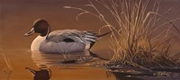 Amber Light - Pintail Fine-Art Print