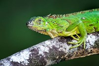 Green Iguana, Tarcoles River, Costa Rica Fine-Art Print
