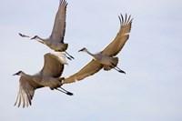 Sandhill Cranes In Flight Fine-Art Print