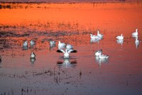 Snow Geese On Water Fine-Art Print