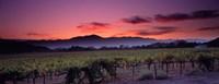 Vineyard At Sunset, Napa Valley, California Fine-Art Print