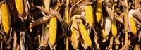Corn Crop Field, Minnesota Fine-Art Print