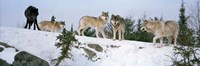 Gray wolves, Massey, Ontario, Canada Fine-Art Print
