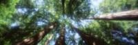 Muir Woods, Redwoods, CA Fine-Art Print