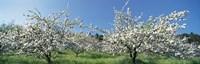 Apple Blossom Trees, Norway Fine-Art Print