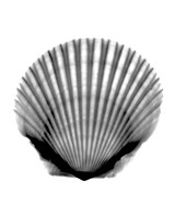 Scallop #3 X-Ray Fine-Art Print