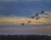 Sandhill Cranes At Sunrise Fine-Art Print