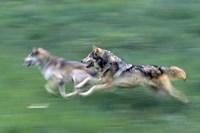 Running Wolves Fine-Art Print