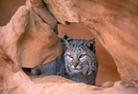 Bobcat in Desert Landscape Fine-Art Print