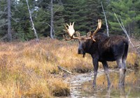 Moose in Swampland Fine-Art Print