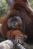 Close Up of Orangutang Fine-Art Print