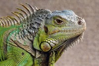 Close Up of Green Iguana Fine-Art Print
