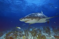 Shark Swimming Under Water Fine-Art Print