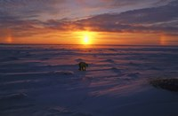 Lone Polar Bear Against Sunset Fine-Art Print