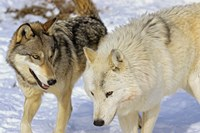 Close Up of Two Wolves in the Snow Fine-Art Print