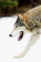 Close up of Wolf in Snow Fine-Art Print