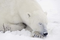Sleeping Polar Bear Fine-Art Print