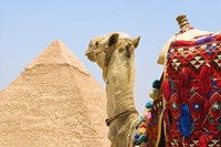 Close Up of Camel and Pyramid Fine-Art Print