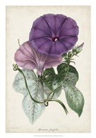 Plum Morning Glory Fine-Art Print
