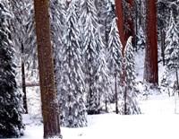 Pines in Winter, California 95 Fine-Art Print