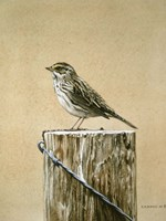 Savannah Sparrow Fine-Art Print