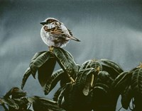 Sparrow On Rhododendron Fine-Art Print