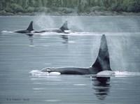 Orcas Fine-Art Print