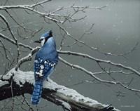 Winter Jay Fine-Art Print