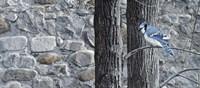 Autumn Blue Jay Fine-Art Print