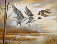 Pintails Fine-Art Print