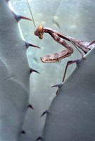 Mantis Agave Fine-Art Print