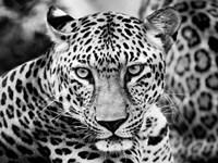 Young Leopard Fine-Art Print