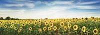 Sunflower Field, Plateau Valensole, Provence, France Fine-Art Print