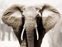 African Elephant Fine-Art Print