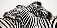 Zebras in Love Fine-Art Print