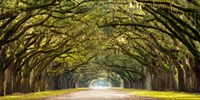 Path Lined with Oak Trees Fine-Art Print