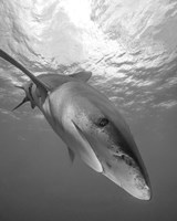 Oceanic Whitetip Shark, Cat Island, Bahamas Fine-Art Print