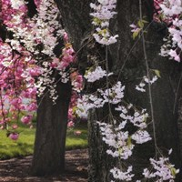 Japanese Cherry Fine-Art Print