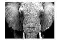 Elephant Lore Fine-Art Print