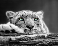 Pop of Color Snow Leopard Eyes Fine-Art Print