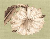 Regence Lily II Fine-Art Print