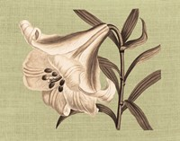 Regence Lily III Fine-Art Print
