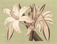 Regence Lily IV Fine-Art Print
