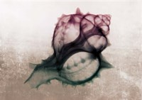 Ombre Sea Shell X-Ray Fine-Art Print