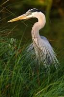 Great Blue Heron, stalking prey in wetland, Texas Fine-Art Print