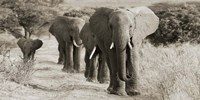 Herd of African Elephants, Kenya Fine-Art Print