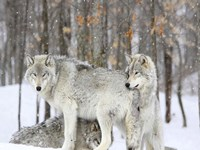Grey wolves huddle together during a snowstorm, Quebec Fine-Art Print