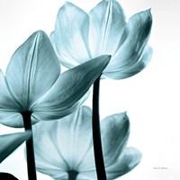 Translucent Tulips III Sq Aqua Fine-Art Print